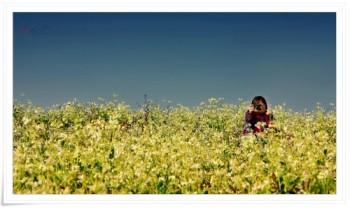 Mộc Châu-mùa hoa cải trắng