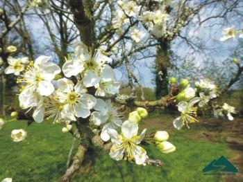 Xuân về, hoa mận nở trắng trời Mộc Châu